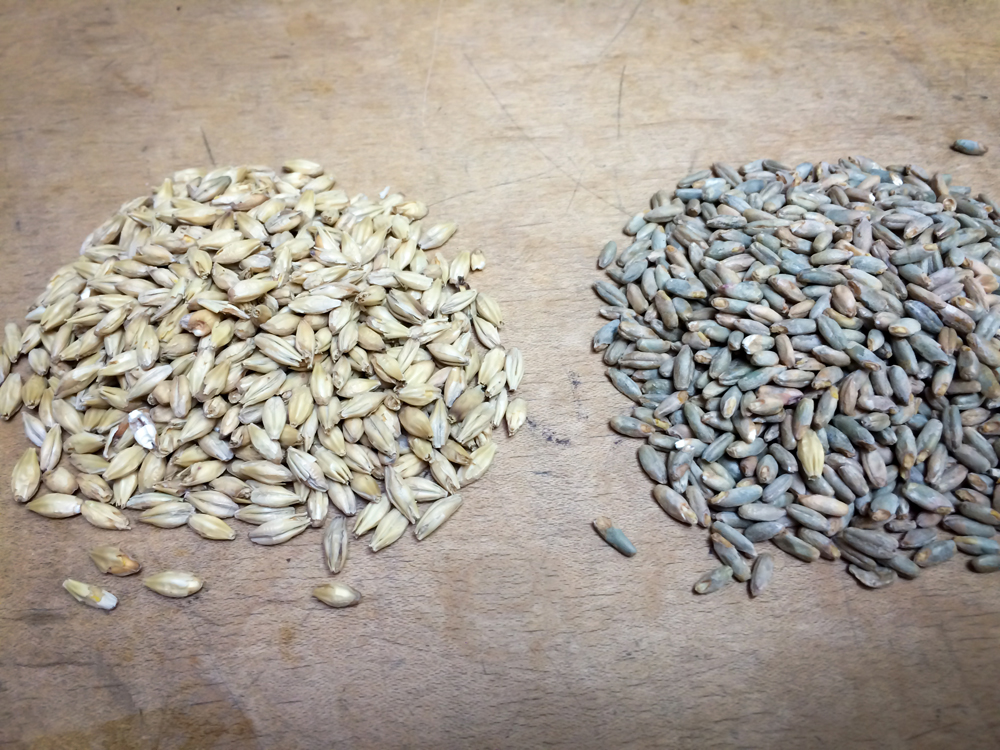 Two-row malted barley on the left, malted rye on the right
